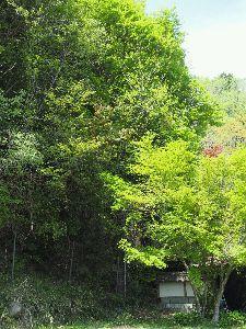かわいい草花とアンティーク 青モミジって言うんでしょうか、 新緑の頃のモミジも色鮮やかできれいです。