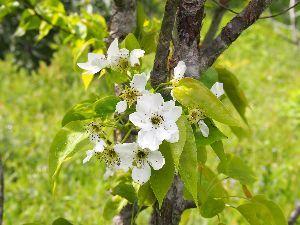 かわいい草花とアンティーク 4月29日に撮ったものですが。 梨の花。