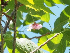 かわいい草花とアンティーク きょう、我が家の桜、一輪だけ咲いていました。 みんなから出遅れて、今ごろ~。