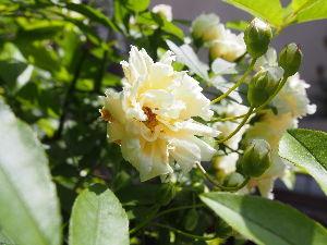 かわいい草花とアンティーク モッコウバラ、ほんのり黄色がかってますね。