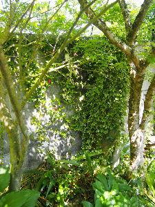 かわいい草花とアンティーク 味気ないブロック塀がツタに覆われてきて、 感じ良くなってきました。