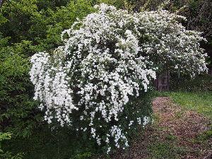 かわいい草花とアンティーク 今、コデマリがきれいです。