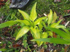 かわいい草花とアンティーク ギボウシ好きなのであちこちに植えてます。