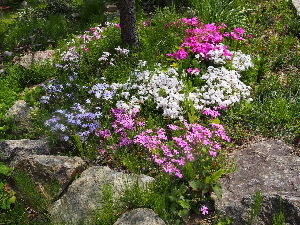 かわいい草花とアンティーク 芝桜、 地面を覆いつくすっていう風にはなっていませんが。
