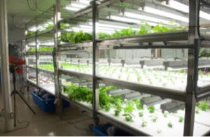 2342 - (株)トランスジェニック 野菜は水耕栽培されるようになりました。 日照不足や雨、災害の被害がなくなります。 適度な水の管理がで