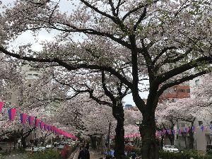 DT1から始まるヤマハ2ストオフ 娘の入学式の帰り白山の桜まつりをパチリ、DTさん桜見れたかな~。