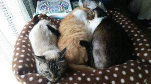 電気ガマを寝床にした黒猫 寒くなるとくっついて寝る三匹。