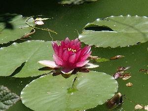 保存食 >蓮の花が、見事でしたね^^  もう一つ・・・ 川口の赤山城跡のオープンガーデン(民間の無料庭園)で