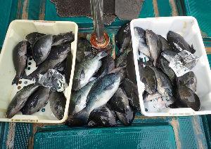 カジキ マグロを釣りませんか? 4月27日のグレです。 会長と2人で27~42cmくらいじゃったかを53匹 グレ釣り迷人=豊中のジイ