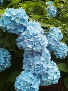 酒飲みの部屋  miniさん、こんにちは。  日本の梅雨には、青や紫の紫陽花が似合いますね^^  >見上げれば鳶が