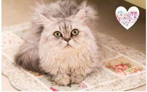 猫カテの特殊性について ハッピーなバレンタインデーを   ヾ(=゚・゚=)ノニャン♪