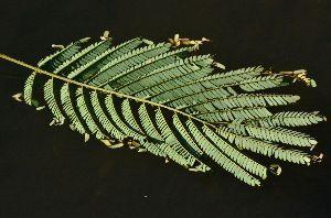 おはなし聞きたいの、パブ19番ホールで~ 細かい落ち葉は何かなと、よくよく見ればネムノキだった。  近くにはまだばらける前の枝付きのネムノキが