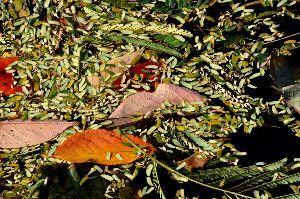 おはなし聞きたいの、パブ19番ホールで~ 風が吹いて翌日、川面には桜・ホオノキ・ネムノキからの落ち葉が浮かんでいた。  色とりどり、いよいよ秋