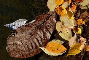 おはなし聞きたいの、パブ19番ホールで~ 大きなホオノキも葉を落としている。  山はきっと紅葉の盛りなのだろう。