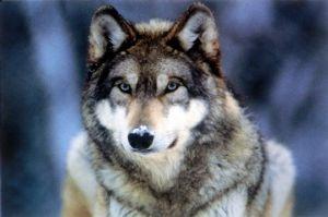 朝 ログインが楽しみなところにしたい。 かつて居た、蝦夷狼はまだはるか前に‥  北米は、絶滅した狼復活計画!カナダから移住b 知床と同様の、