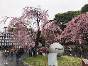 なかなか勝てないyoー 朝、電車降りて時間があると立ち寄り(-。-)y-゜゜゜する 上野公園の大寒桜が咲いただがや  ここは