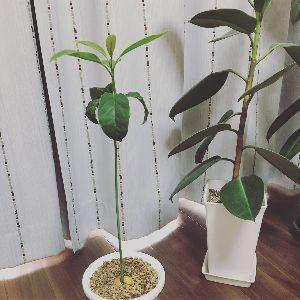 園芸相談コーナーです、 こんばんは。 以前のアボカドですがすくすく育ってきております。 植え替えしたばかりですが 鉢の下から
