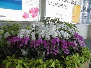 沖縄へ 胡蝶蘭のお見送りで 沖縄を離れます。  沖縄本島を二泊三日の急ぎ旅。 辺戸岬から喜屋武岬まで。 きれ
