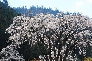 心を空っぽにして 昨日の塩原温泉(栃木県)妙雲寺の桜。  高速道路から見た新緑はすばらしかったが 残念ながら写真に撮る