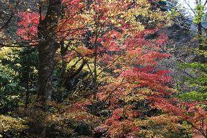 心を空っぽにして 11月21日の天城峠は黄葉には1週間ほど早かった。 それでもきれいに色変わりしている木もあった。