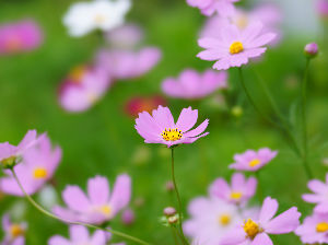 好きな時間 今日は台風の影響で風強し...です。  せっかく咲いた秋桜.... 倒れてしまうかも  昨日写真撮っ