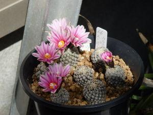 サキュレント バラ丸が開花