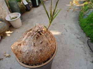 サキュレント イポメア・ホルビーの芽が出ました