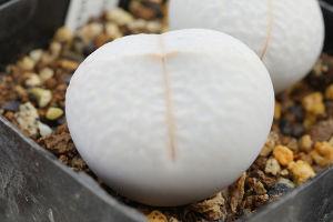 サキュレント 実生の南蛮玉です。 今秋は咲くかな?