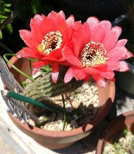 サキュレント トミさん、こんばんは。 亜美です。  通り道で毎年綺麗な花が 咲いています。  残念ながら、 持ち主