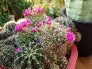 サキュレント サボテンは花物が主なので、この時期が1番華やかです^^