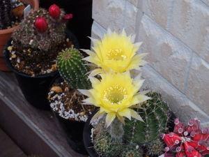 サキュレント 花サボテン開花時期真っ盛りです^^ 1週間留守にしたら咲き終ったものも