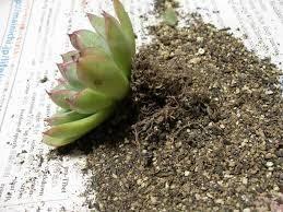 サキュレント みなさん、こんにちは。 亜美です。  3月に入ってから、 夫婦で植木鉢の鉢上げ植替え 根の剪定と土の