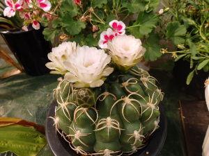 サキュレント どっしりとした花です