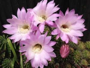 サキュレント トミさん、こんばんは。 亜美です。  いつも、サボテンの美しい花を ありがとうございます。  昨日か