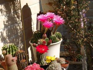 サキュレント 花盛りです