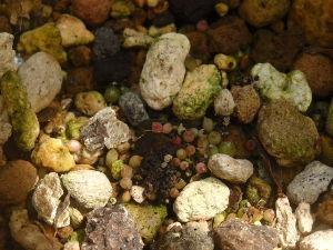 サキュレント 花サボテンの種が稔ったので 採り蒔きしました^^: