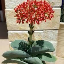 サキュレント こんにちは、亜美です。 ご無沙汰しています。  今年も春に咲いた サキュレントが 花を咲かせています