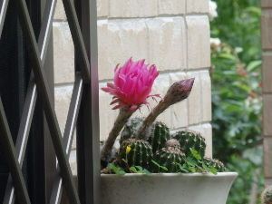 サキュレント ウニサボテンが開花