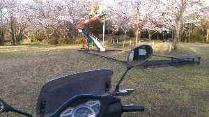 リードのお部屋 こちら、利根川下流地区は、現在、桜が見頃ですよ~。