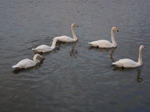 続50代何でも話そう!! 日暮れが 早くなってきました  明け方は 寒さで目が覚める事も(笑)  高松の池に 白鳥が五羽飛来し