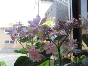 灯りなら点いてます♪2 みんな家族 おはようございます^^^  薄紫の花 この頃はこのような色の花に 安らぎを覚えるようになりまして!