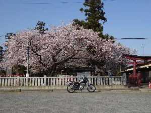 川越で おはようございます。  今日から新年度の業務開始ですね。  また1年頑張りましょう!   今年の桜は