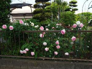 川越で こんばんは。  薔薇の季節が来ましたね。  電子ちゃんが沢山植えたので  今年は庭がカラフルです。