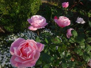 川越で 電子ちゃんが薔薇に凝り始めて、薔薇用にスペース空けるために  今年は何本か植木を切っちゃったよ。