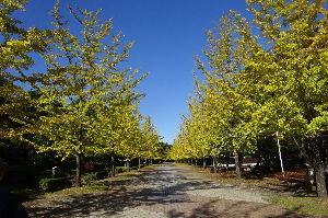 奥武蔵、奥秩父の好きな人集まれ! 【秩父ミューズパークのイチョウ並木】 今日は秩父ミューズパークのイチョウ並木を歩いて来ました。 快晴