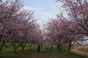 奥武蔵、奥秩父の好きな人集まれ! 【坂戸市北浅羽桜堤さくらまつり】 坂戸市入西の北浅羽桜堤のさくらまつりに行って来ました。 安行寒桜と