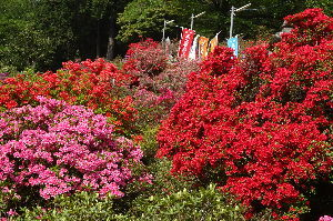 奥武蔵、奥秩父の好きな人集まれ! 【五大尊~弓立山】 4月19日(木)越生駅から五大尊へ、ツツジがほぼ満開で素晴らしい景観でした。ツツ