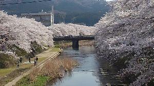 美祢に乾杯! ご無沙汰しております。 今年も、厚狭川の桜は見事に咲きました。 今日も多くの人が、集っていらっしゃい