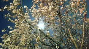 ♪何でもCLUB♪ でもまた獲るぞ❗(^^ゞ          ブルームーンと桜🌸✨
