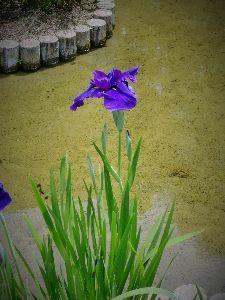 ☆ほのぼのしりとり家族誕生~Part2♪ 【 イチリンの菖蒲 】  紫は全部がまだつぼみでした。  6月の初めごろ咲く予定だと云っていました。